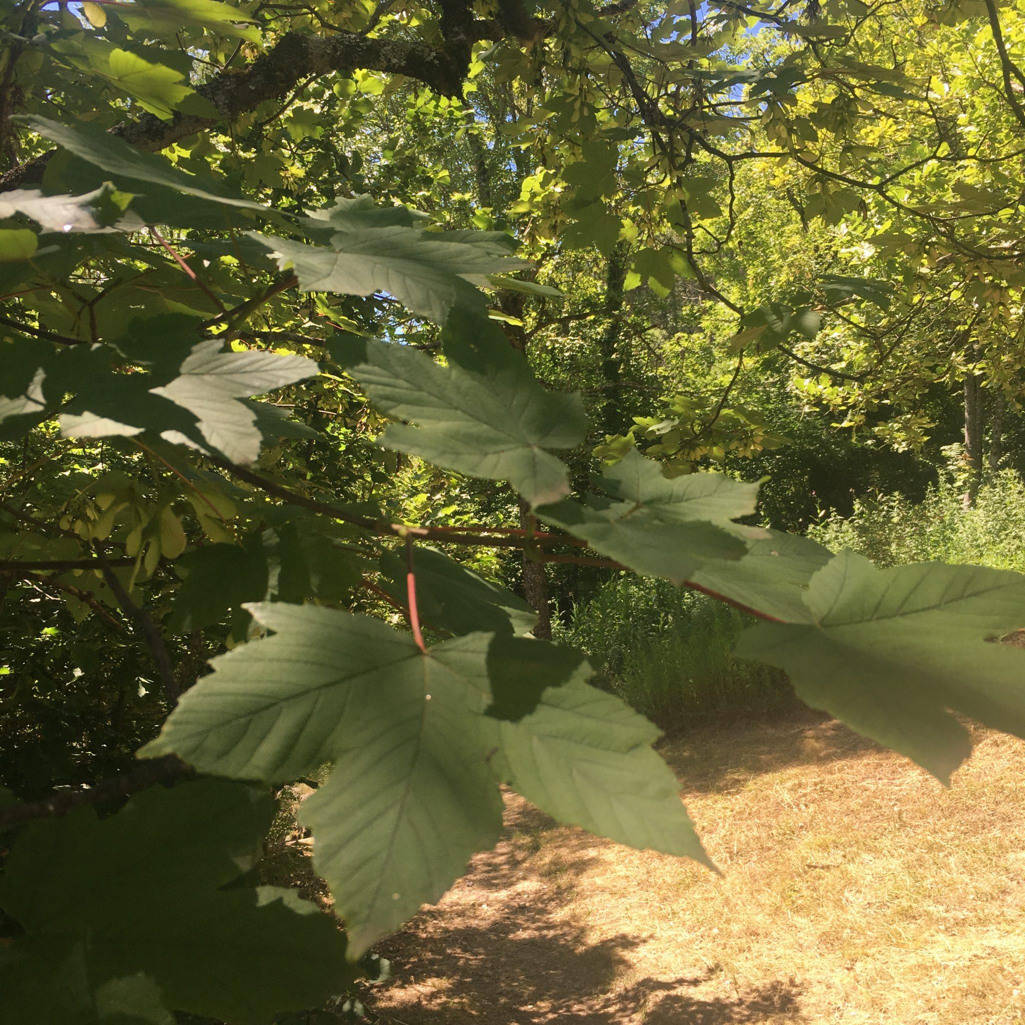 Acer platanoides