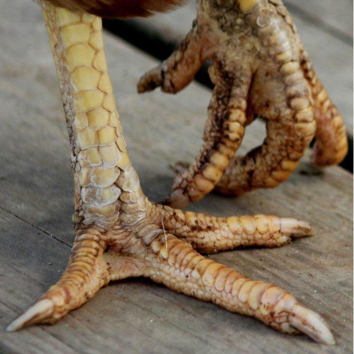 MP_pattes de poules_Dinosaures vivants