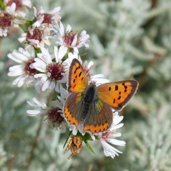 Le jardin des papillons, un cuivré commun, crédit photo Charlotte Wagner